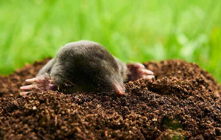 a mole coming out of hole in the yard