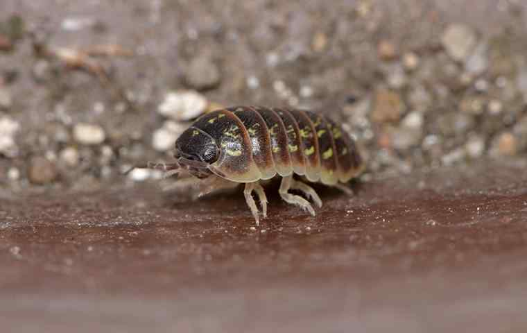 a pillbug crawling in a basement