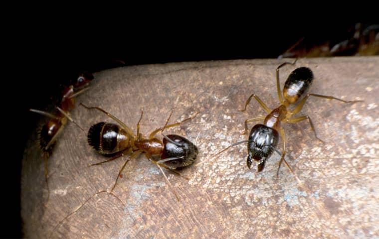 odorous house ant on mushroom