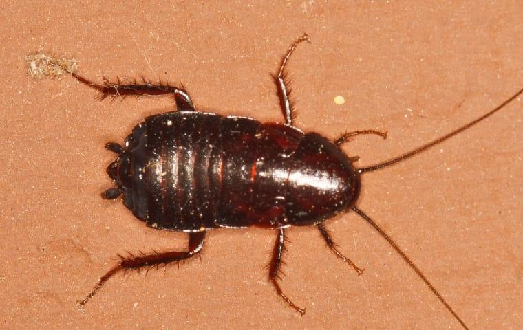 oriental cockroach on clay wall