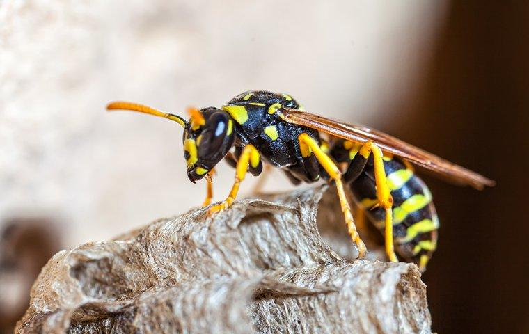paper wasp making a nest