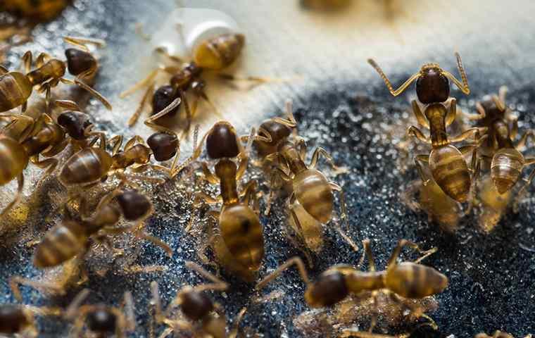group of pharaoh ants eating sugar water