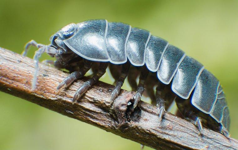 pillbug on twig