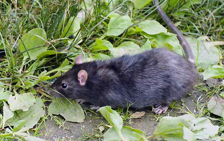 a roof rat looking for food in backyard