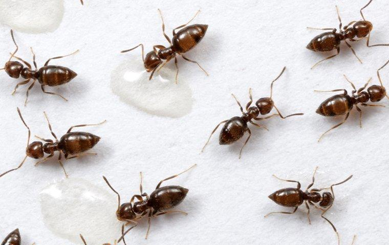 rover ants in the rain