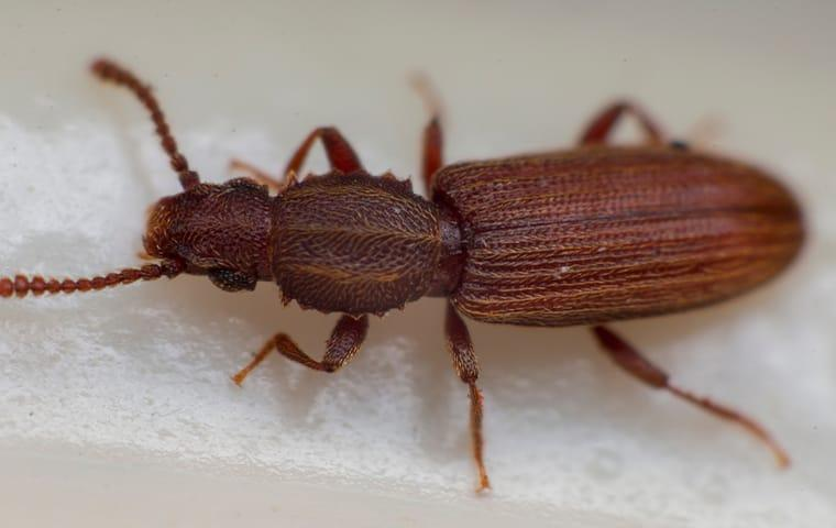 sawtoothed grain beetle eating