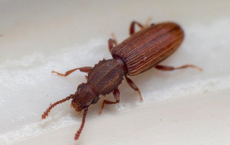 sawtoothed grain beetle on counter