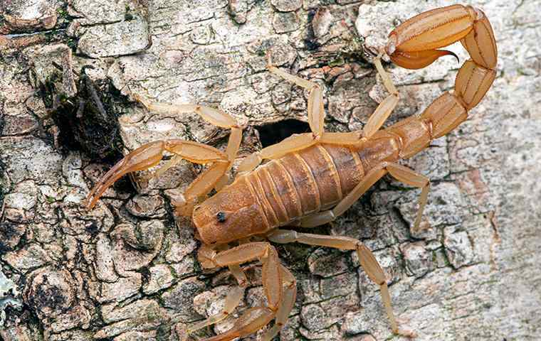 a scorpion on the bark of a tree