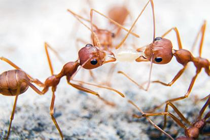 fire ants fighting over a piece of rice