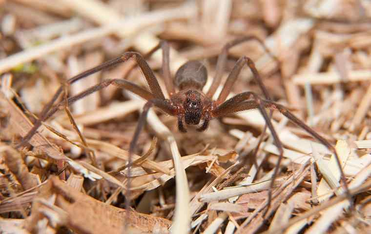 brown recluse spider in dead grass