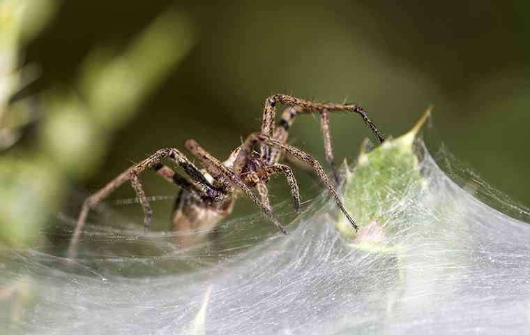 a house spider making its web on a leaf
