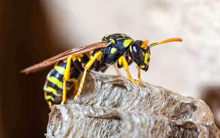 a paper wasp perched on nest