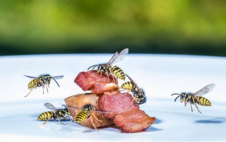 wasps eating bacon