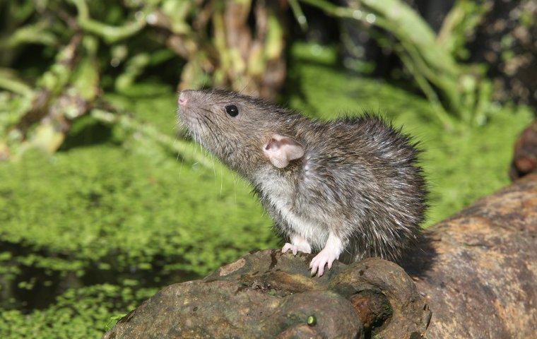 a large rat