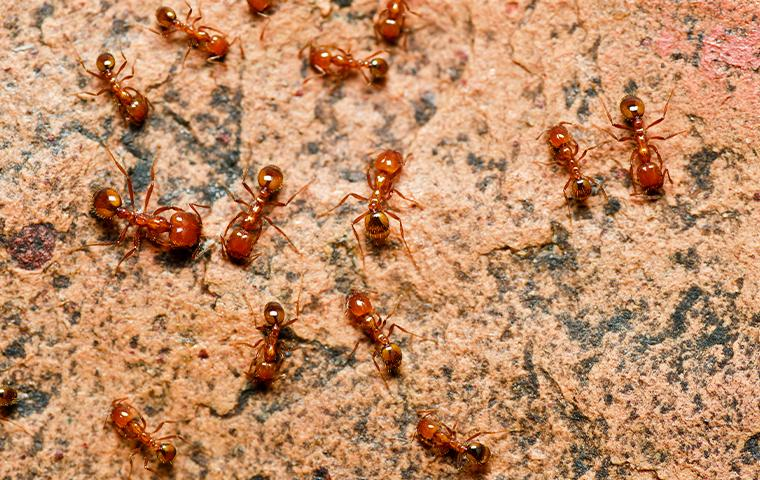 several fire ants outdoors
