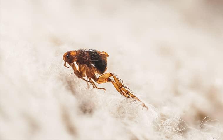 a flea jumping on furniture