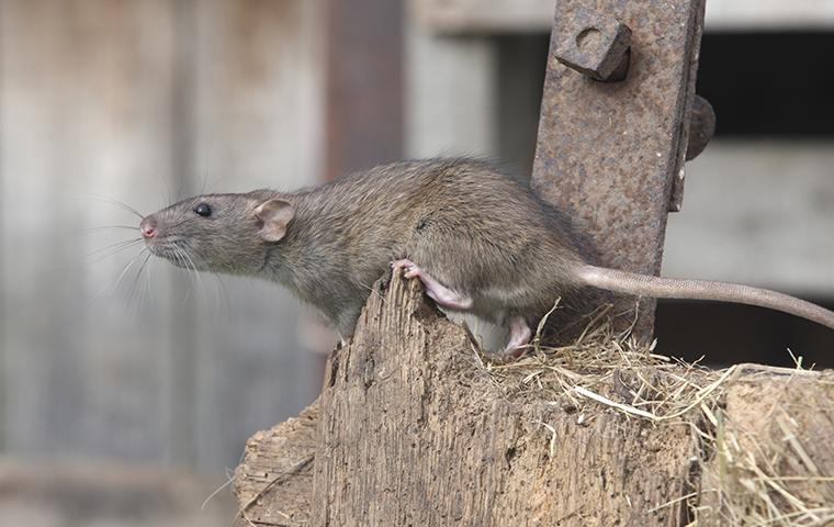 norway rat near a shed