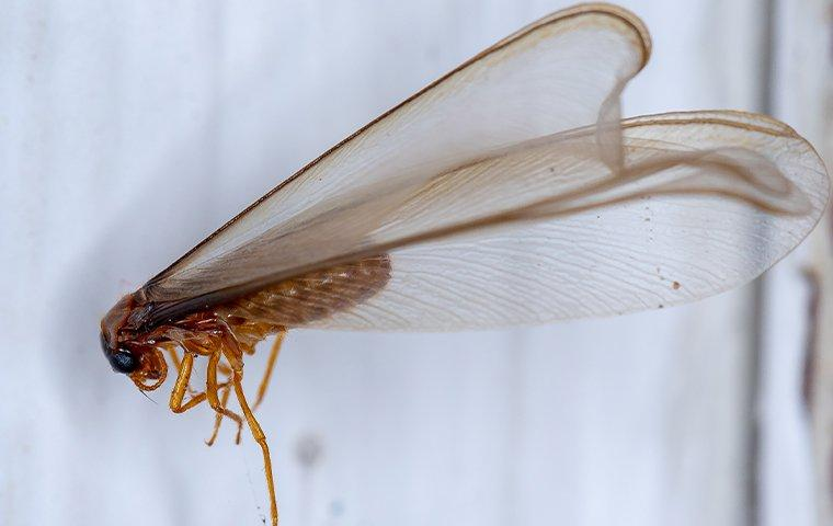 a termite swarmer caught on a web