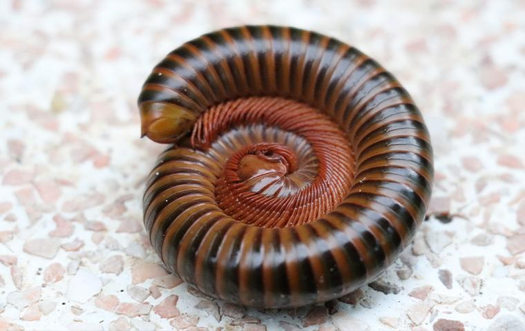 millipede on gravel