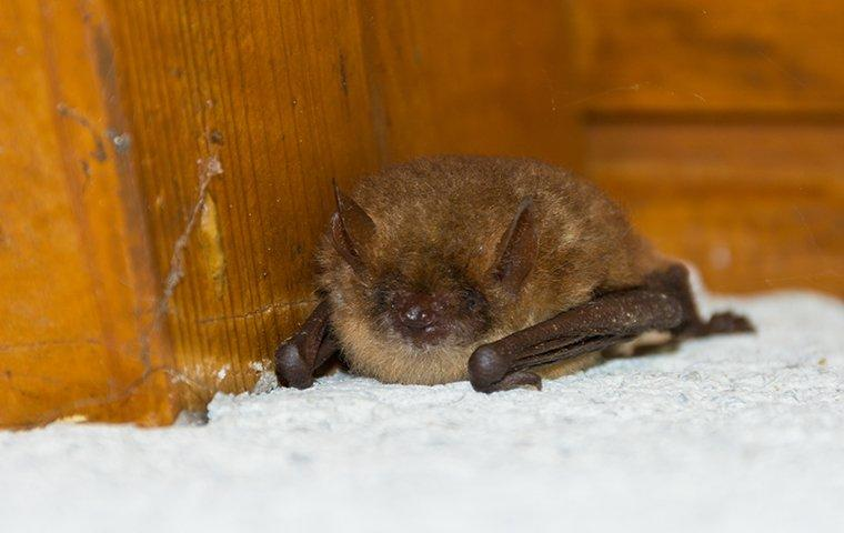 a little brown bat in a home