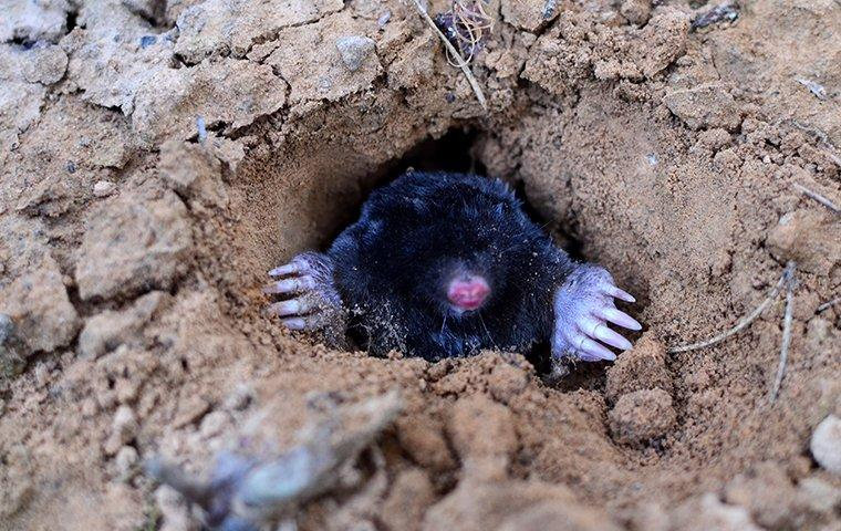 a mole coming out of a hole in the ground