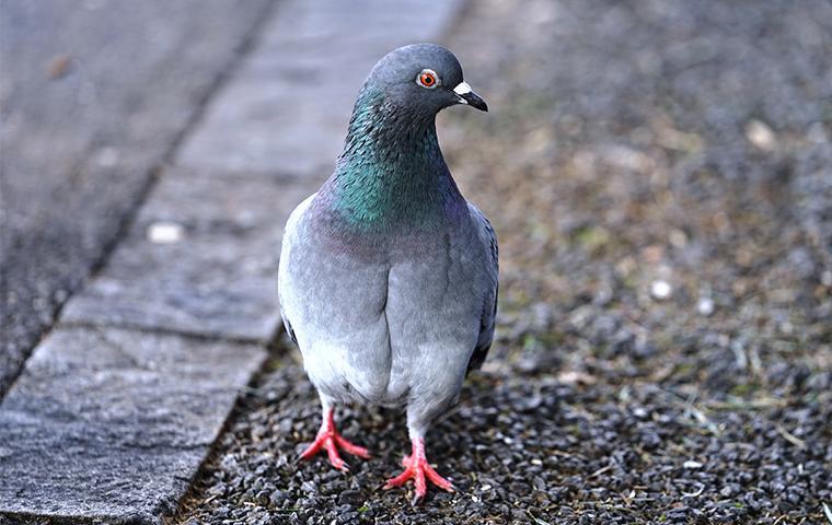 a pigeon walking outside