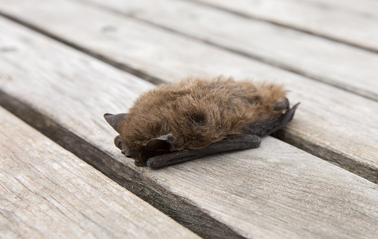 little bat on porch