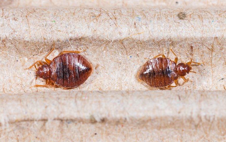 two bed bugs on a bed