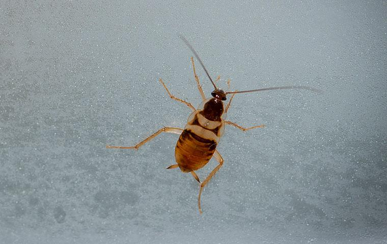 a brown banded cockroach