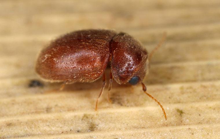 a cigarette beetle up close