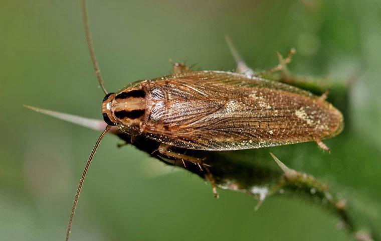 a german cockroach