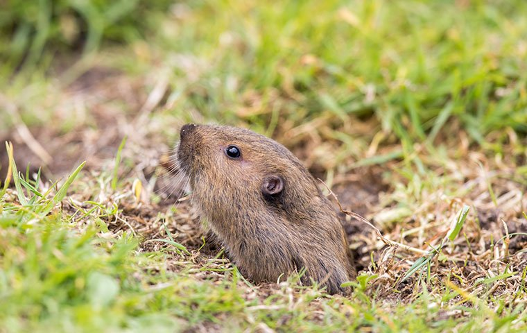 gopher peaking out of hole in ground
