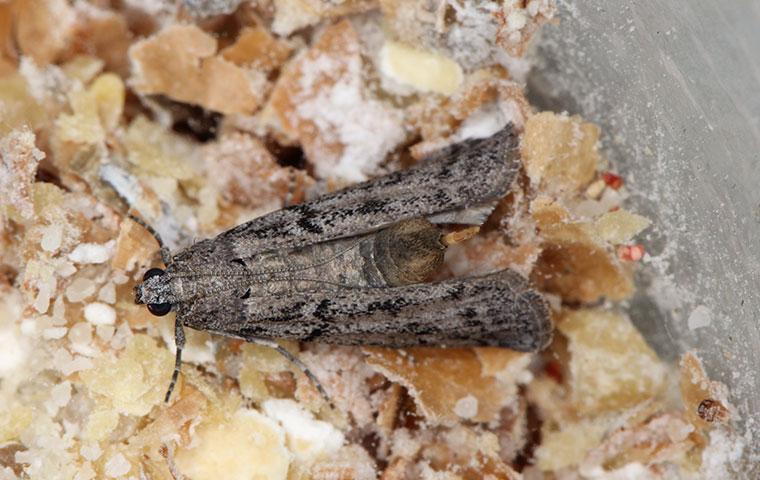a grain moth