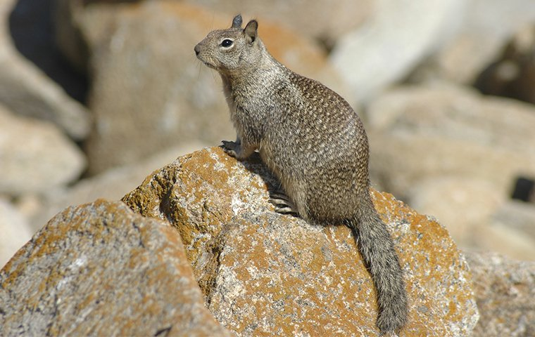 a ground squirrel on a rock