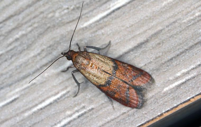an indian meal moth in home