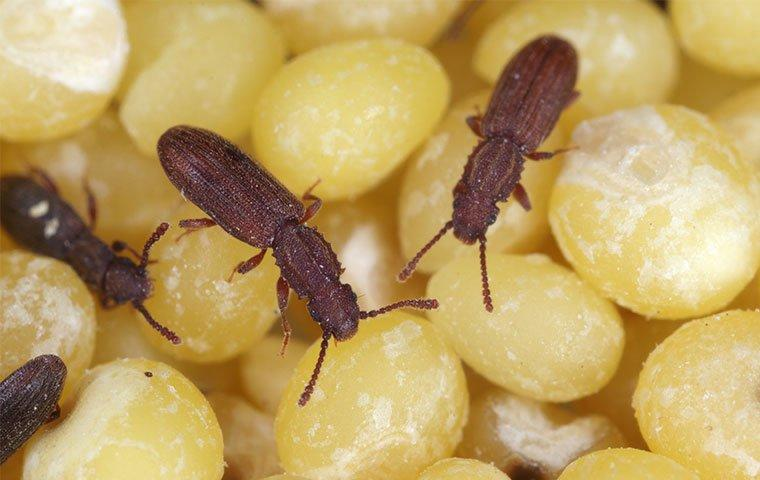multiple sawtoothed grain beetles