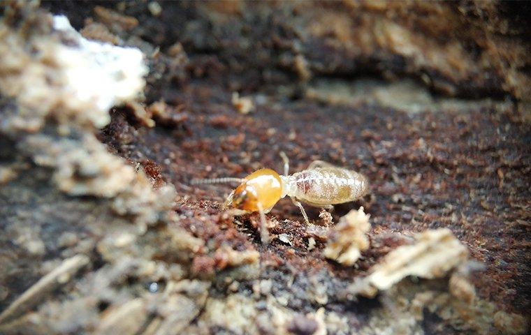 a termite up close
