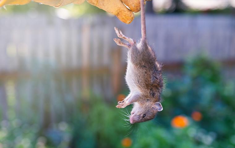 a technician holding a dead rat