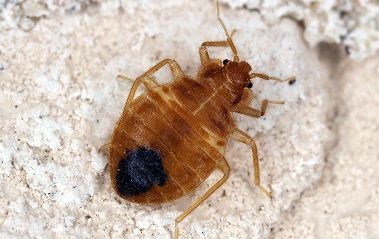 a bed bug inside of a home in manhattan new york