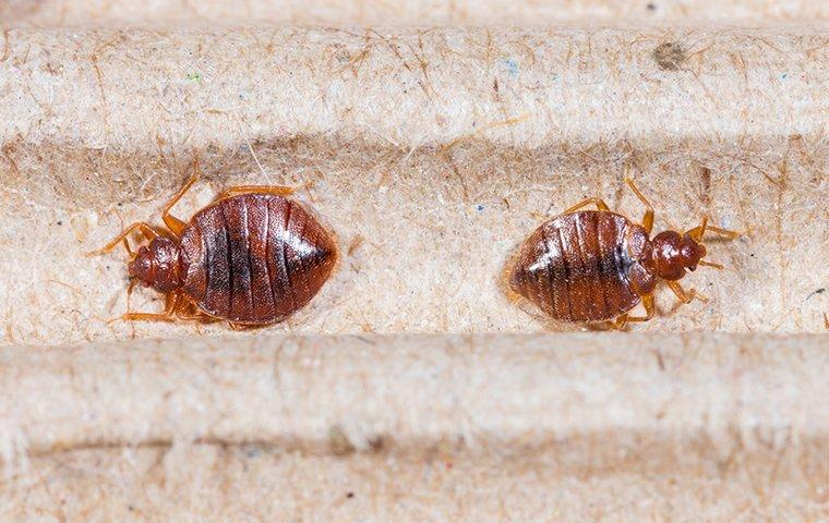two bed bugs on a surface in queens new york