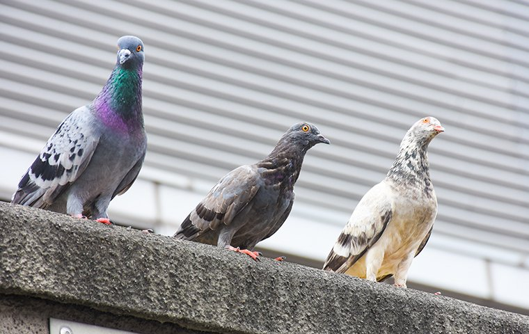 three pigeons perched the roof of a home in brooklyn new york