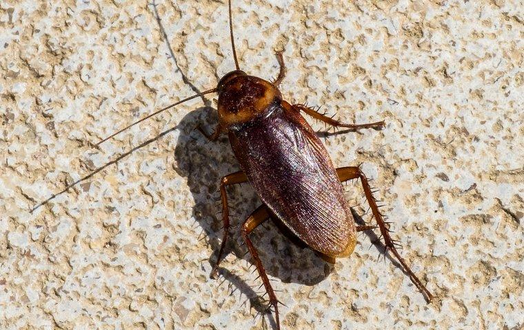 american cockroach crawling on kitchen tile