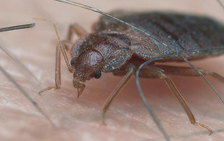 a bed bug sucking on human blood