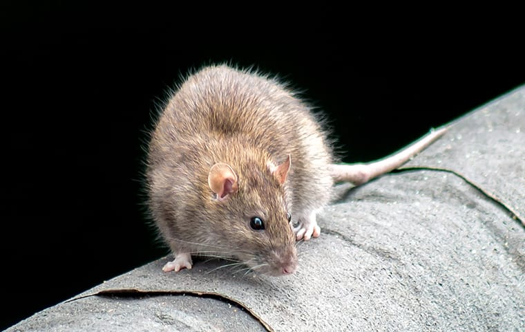 a rat crawling on a surface inside of a home in new york city