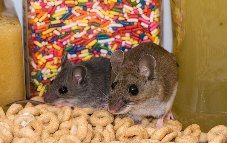 two mice in a pantry inside of a home in bronx new york