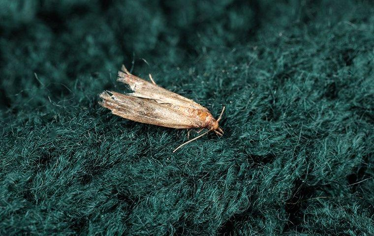 an indian meal moth on a surface inside of a home in bronx new york