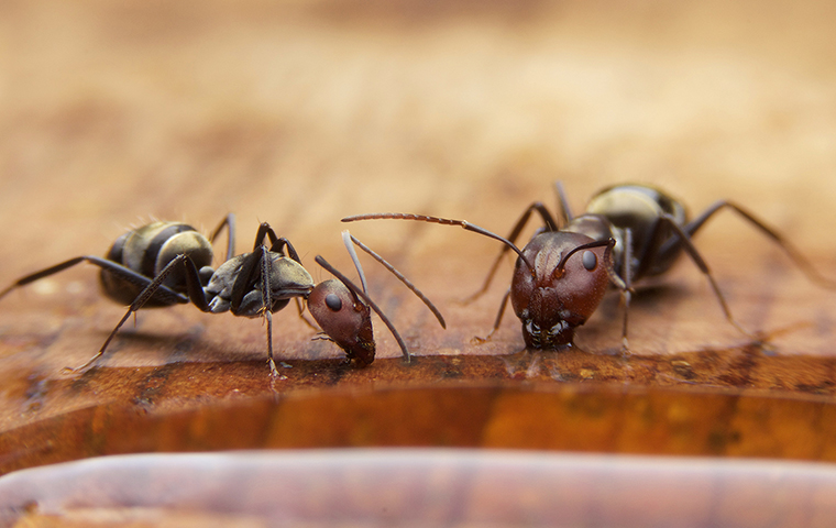 two ants drinking water inside a home in pryor oklahoma