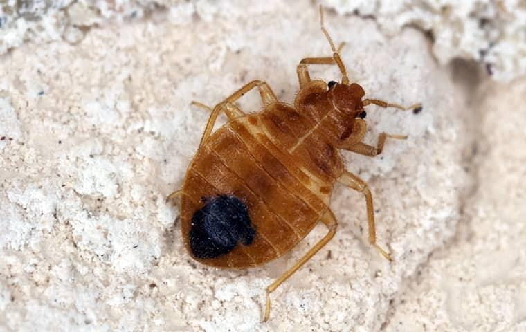 a bed bug crawling on the ground in oklahoma