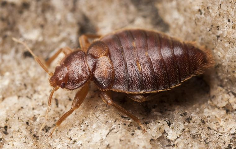 a bed bug crawling on bedding in a home in tulsa oklahoma
