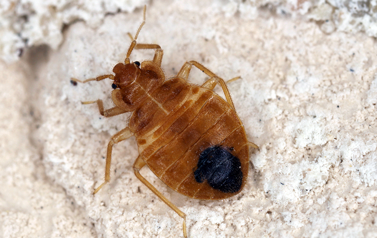 a bed bug on carpeting in a home in tulsa oklahoma